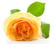 Beautiful orange rose isolated on white