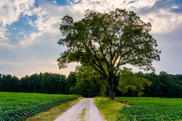 Tree on a dirt road in rural York County, Pennsylvania.