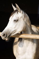 Arabian gray youngster lin the stable door