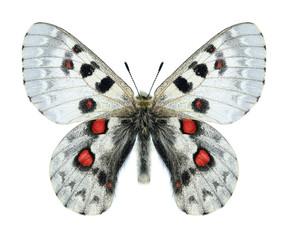 Butterfly Parnassius tianschanicus olimpus (male)