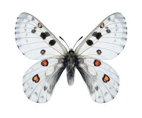 Butterfly Parnassius actius dubitabilisi (male)