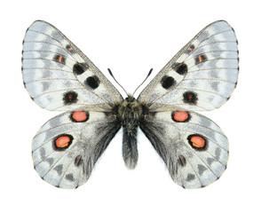 Butterfly Parnassius tianschanicus tianschanicus (male)
