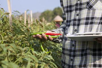 Chili farmer