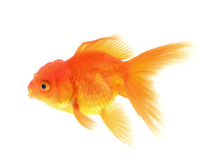 Gold fish with white background