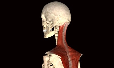 spine body muscle
