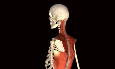 backbone body muscle