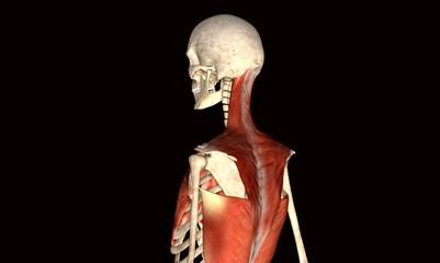 Backbone muscle