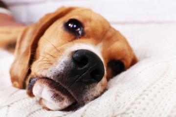 Beagle dog on pillow close-up