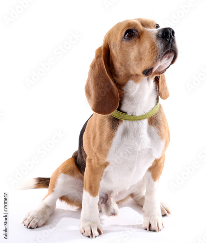 Fototapeta Beagle dog isolated on white