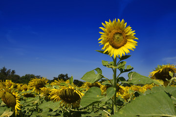 Outstanding sunflower farm with day light and blue sky