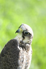 Peregrine Falcon on the green  lawn