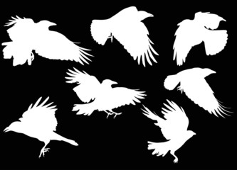 set of seven white crow silhouettes isolated on black
