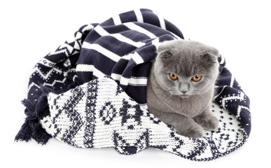 British cat wrapped in plaid isolated on white