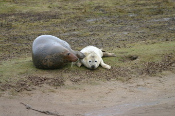 Female Grey Seal with Pup