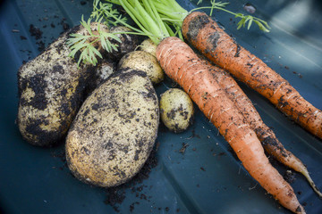 Freshly dug up vegetables