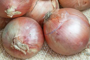Oignons rosés de Roscoff - Allium cepa - sur toile de jute