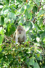 Mauritius, monkey in a tree in Mahebourg area