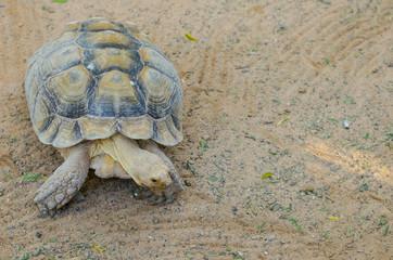 terrestrial tortoise