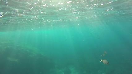 Sarago e medusa