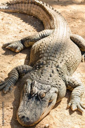 Canvas Krokodil alligator lying in the sun
