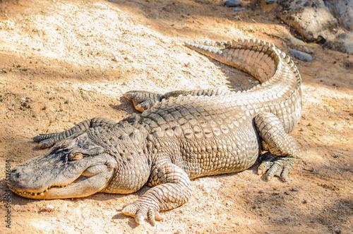 Foto op Plexiglas Krokodil alligator lying in the sun