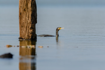Black Cormorant (Phalacrocorax carbo) swimming in a lake.