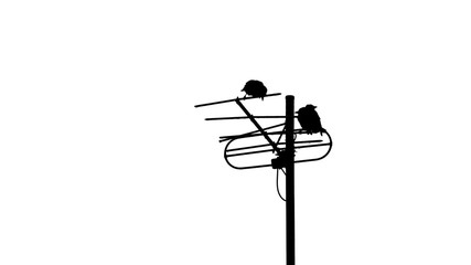 Crows on the antenna, black and white
