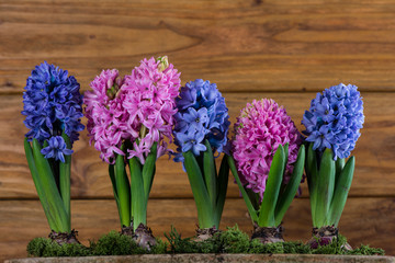 group of Hyacinth over wooden background