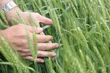 Wheat and agronomist hands