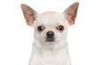 Chihuahua dog isolated