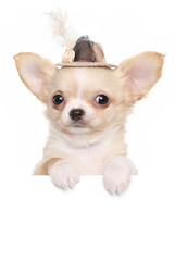 Chihuahua puppy in a fashionable hat