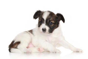 Continental toy spaniel puppy