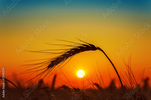 sunset and wheat ear on field