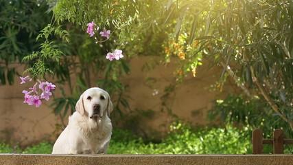 alert senior labrador dog in the garden
