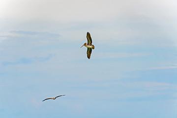 Pelicans takes flight against a blue sky.