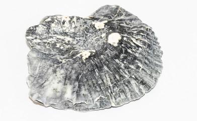 Muschelfragment