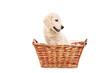 Little labrador retriever dog in a basket