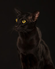 Beautiful black oriental cat isolated over black background