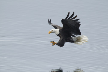 Eagle just above water.