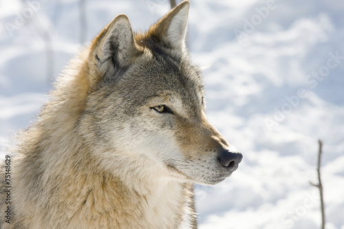 Deurstickers Wolf Gray wolf (Canis lupus) in winter