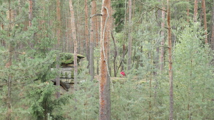 Woman walking and picking wild mushrooms in coniferous forest.