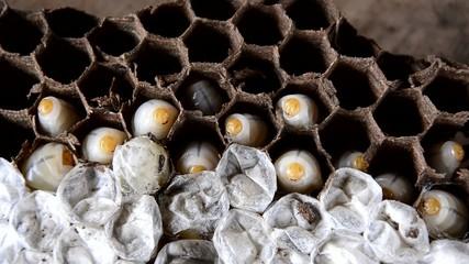 Larva wasps in wasps nest.
