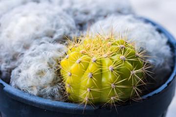 domestic cactus closeup with white cactus