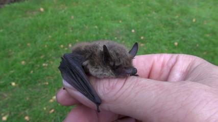bat Nathusius pipistrelle (Pipistrellus nathusii) in  hands