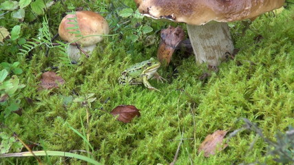 green frog on moss and mushroom boletus in forest