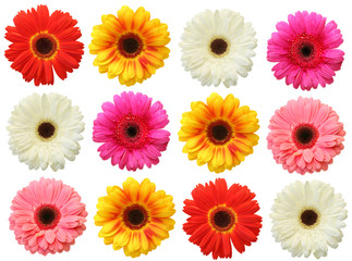 Colorful gerbera on white background isolated