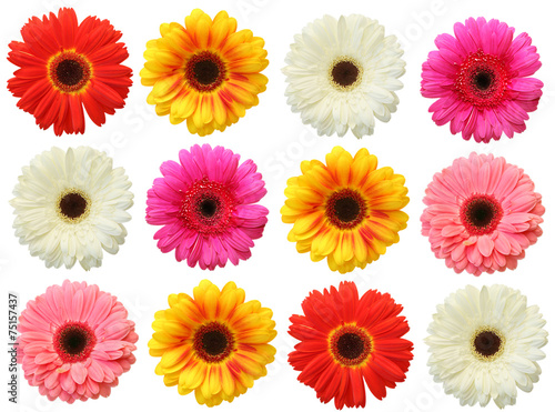 Foto op Aluminium Gerbera Colorful gerbera on white background isolated