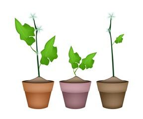Three Ivy Gourd Plant in Ceramic Flower Pots