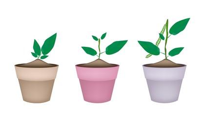 Mung Bean Plants in Ceramic Flower Pots