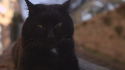 Big black cat sitting and grooming